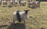Beşiğe Sıkışan Koyunun Sevimliliği