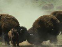 Dişiler İçin Mücadele Eden Erkek Bisonlar