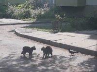Çılgın Karganın Kedileri Kavgaya Tutuşturması