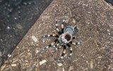 Tarantulanın Time Lapse Görüntüleri İle Ürpertici Deri Değişimi
