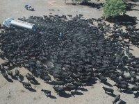 Tırdan Su İçen Sığırlar