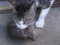 Lağım Faresi Yakalayan Kedi