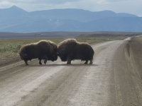 Sığırların Yol Ortasında Kavga Etmesi