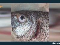 Taze Görünsün Diye Balıklara Plastik Göz Takan Balıkçı