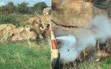 Erkeğe Ölümüne Saldıran Dişi Aslanlar