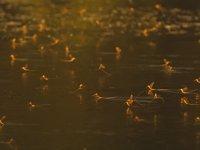 Yavruları İçin Mayıs Sineklerini Avlayan Kuşlar