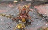 Eşek Arısı Vs Yaban Arısı  Ölümle Mücadele
