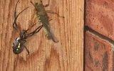 Çekirgeyi Hızlıca Paketleyen Örümcek