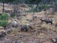 Vahşi Köpeklerle Sırtlanların Bol Çığlıklı Mücadelesi