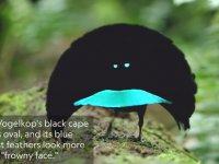 Yeni Tür Kuşun Dişisine Yaptığı Kur Dansı