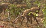 Leoparı Yemeye Çekinen Sırtlanlar