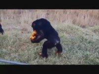 Kıtlıktan Çıkmış Gibi Meyve Taşıyan Şempanze