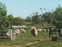 Yükseklik Tanımayan Koyun
