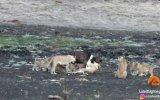 10 Aslan Yavrusu Vs 1 Buffalo Buzağısı
