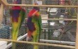 Akrobat Papağan Çifti