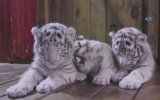 3 Beyaz Kaplan Yavrusunun İlgi Odağı Olması
