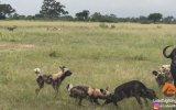 Vahşi Köpeklerin 5 Buffalo Buzağısını Birden Avlaması
