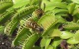 Etobur Venüs Sinek Kapan Bitkisine Yakalanan Arılar