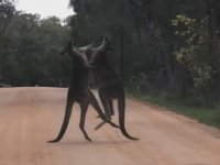 Kanguruları Bitmek Bilmeyen Kavgaları