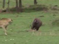 Leoparın Avına Çomak Sokan Babun