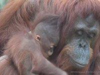 Anne Orangutanın Bebeğini Öpmesi