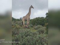 Aslanı Görünce Yeni Doğan Yavrusunu Bırakıp Giden Zürafa