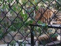 Hayvanat Bahçesinde Pusu Kuran Kaplan