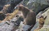 Kedinin Tatras Sıra Dağının Zirvesinde Dağcılara Sürpriz Yapması