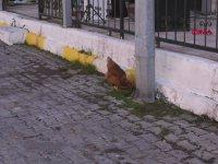 Tören Alanına Giren Tavuk