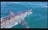 Balıkçının Yakaladığı Avı Kapan Köpekbalığı