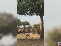 Leoparın Babun Sürüsü Arasında İmpalayı Avlaması