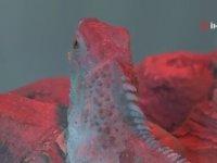 47 Yavru Doğuran İguana - Bursa