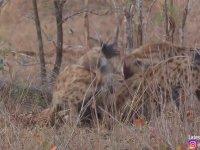 İmpalayı Canlı Canlı Yiyen Çita ve Sırtlan