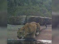 Su İçen Leoparın Fotokapana Yakalanması