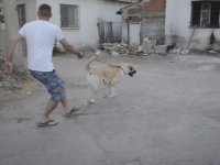 1 Dogo Argentino ve 1 Kangal ile Sanayiye Kafa Tutmak
