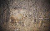 Dişi Aslanın Ceylanı Yakalama Anı