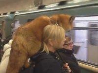 Metroya Omzundaki Tilkiyle Binen Kadın