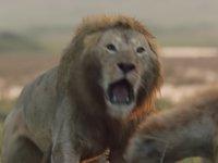 Sırtlanların Saldırısına Uğrayan Erkek Aslan