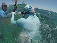 Dalgıca Saldıran Köpek Balığı