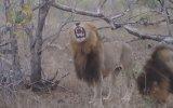 Gülme Dublajı Eklenen Erkek Aslanlar