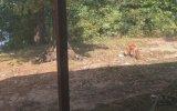 Tilkiye Hunharca Saldıran Kedi