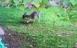 Vura Vura Kediyi Öldüren Geyik 18