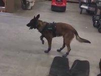 Kar Botlarını Giyen K-9 Köpeğinin Yürüme Mücadelesi