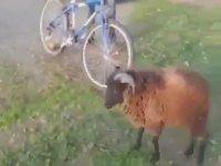 Bisikleti ve Sahibini Toslayarak Bertaraf Eden Tosun