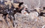 Vahşi Köpeklerin Tavşanı Avlaması