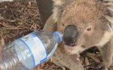 Koca Yürekli Kızın Koalaya Su İçirmesi
