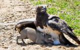 Kartalın Yavru Yaban Domuzunu Avlaması