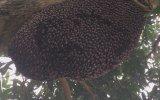 Kovanlarını Eşek Arısından Koruyan Bal Arılarının Savunma Dalgası