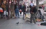 Güvercinin Sokak Sanatçısına Dansıyla Eşlik Etmesi
