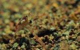 Küçük Yengecin Deniz Taşlarını Cilalaması